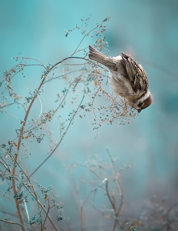 Sparrow Bird Sitting on Old Stick. Frozen Sparrow Bird Winter Po.jpg