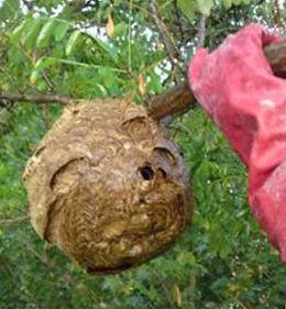La Commingeoise produits fermiers BIO destructions nids de frelons