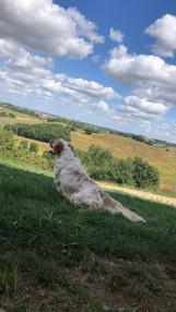 Elevage canin Des Coteaux Commingeois, Agassac, setter anglais