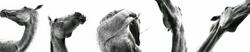 Calligraphie équine © OTTO IZ