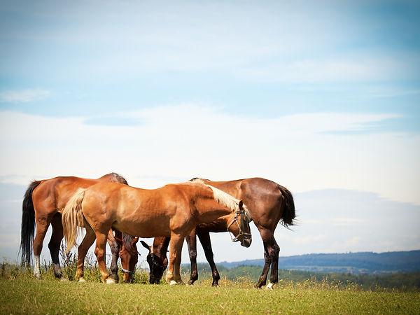 Le cheval vit en troupeau