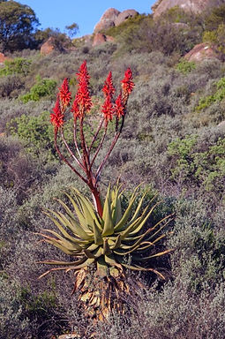 Aloe khamiesensis