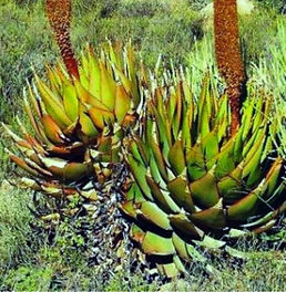 Aloe broomii habitat