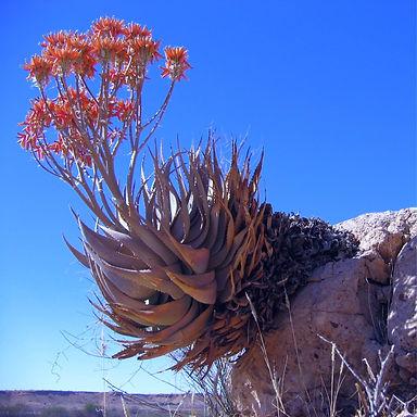 Aloe hereroensis