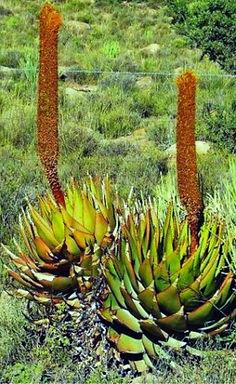Aloe broomii