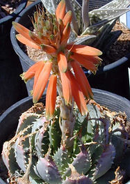 Aloe pratensis flower