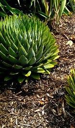 Aloe polyphylla leaves
