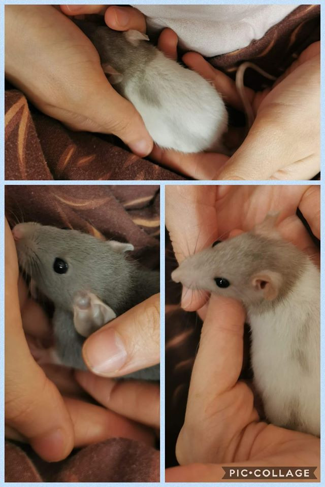 Our baby rats and mum are all doing well