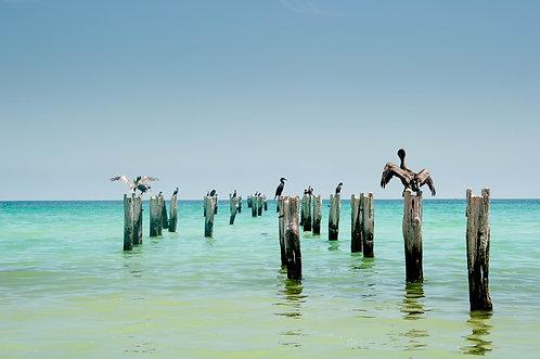 Colonie de pelicans