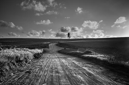 champs de cannes à sucre (Landscape) Tirage 90 X 60 cm, 135 x 90 plein format, Patrick Raymond