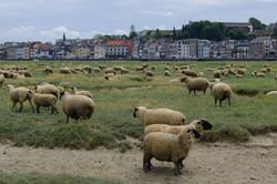 BaiedeSomme-moutons-CreditFLeonardi11