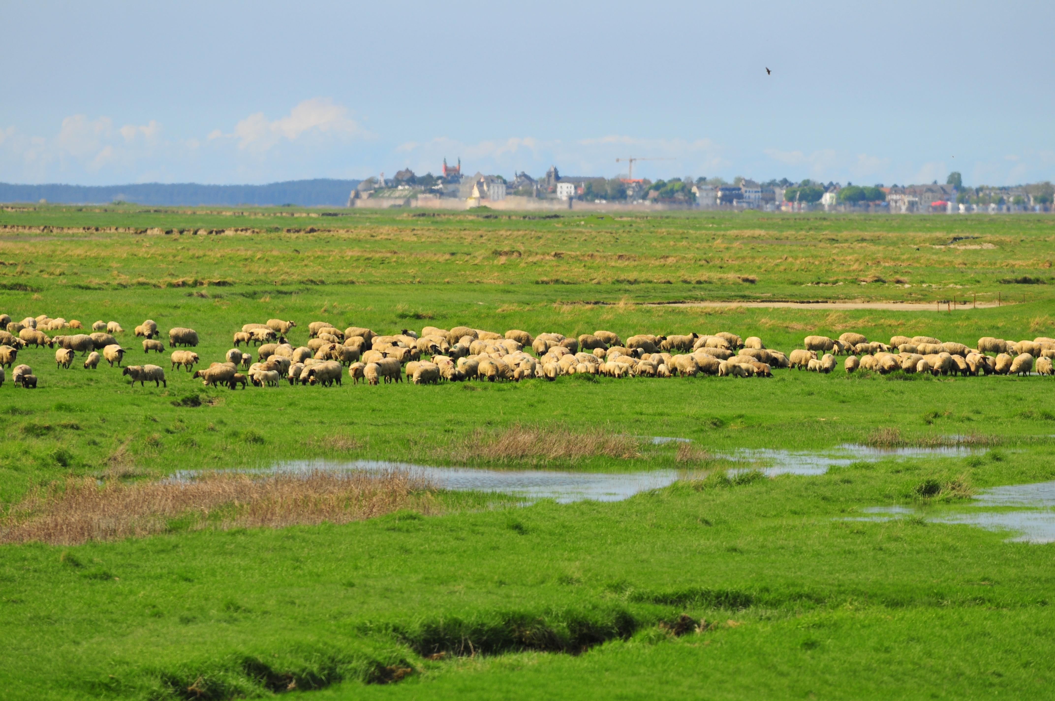 Moutons-ADRT80-FLeonardi