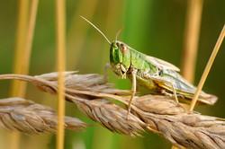 desert_locust_insect_macro_nature-1267870.jpg!d