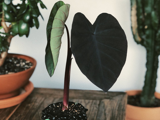 Slik grodde jeg min egen Colocasia Esculenta 'Black Magic'