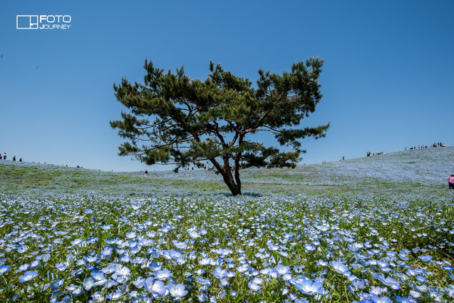 Hitachi seaside park_2000x1333.jpg