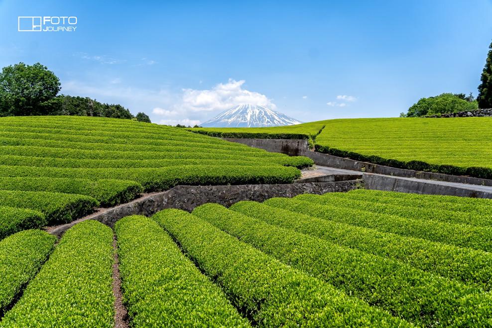 Tea plant and Fuji1_2000x1333.jpg