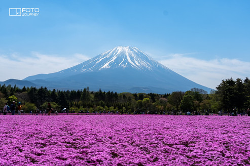 Pink Moss_Shiba Sakura2_2000x1333.jpg