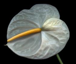 Bob Francis - Anthurium