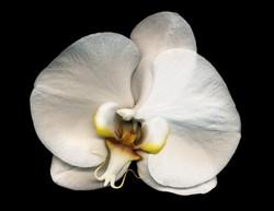 Bob Francis - Phalaenopsis #5