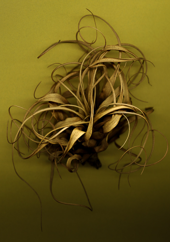 Bob Francis - Tillandsia, Yellow
