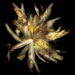 Bob Francis - Cactus Blossom