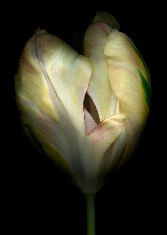 Bob Francis - Tulip