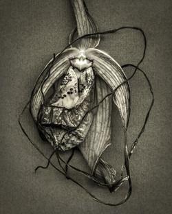 Bob Francis - Phragmipedium