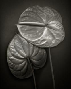 BOB FRANCIS - Two Anthurium