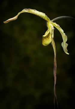 Don Goss - Phragmipedium Giganteam