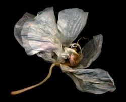 Bob Francis - Phalaenopsis #6