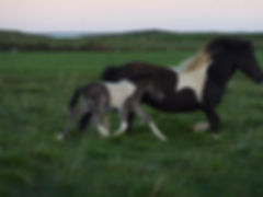 Fuchs mit Splash, Islandpferd, Hornafjordur,