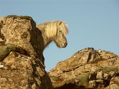 Schimmel, Islandpferd, Hornafjordur