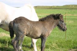 Óðinn-Gráni
