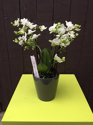 Boquetto orchidee in taupe kleurige pot