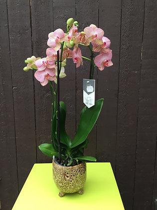 Geaderde orchidee met potje op voetjes