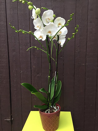 Super grote orchidee in bordeau pot