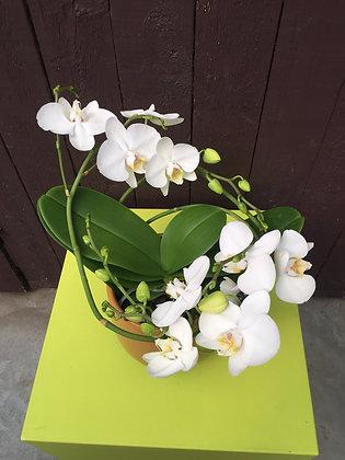 Spiraal orchidee in pot