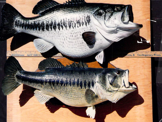 Northern-strain vs. Florida-strain largemouth Bass