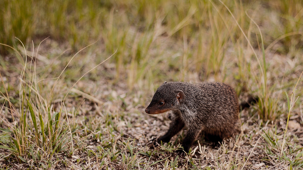 Mini Mongoose