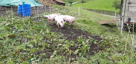 3 kleine Schweinchen