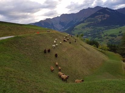 unsere Schafherde nach der Alp