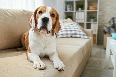 cachorro-sofa.jpg