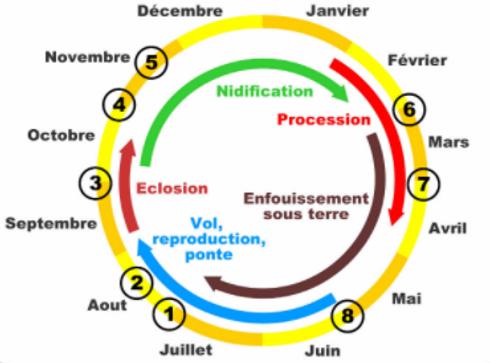 cycle de vie chenilles processionnaires