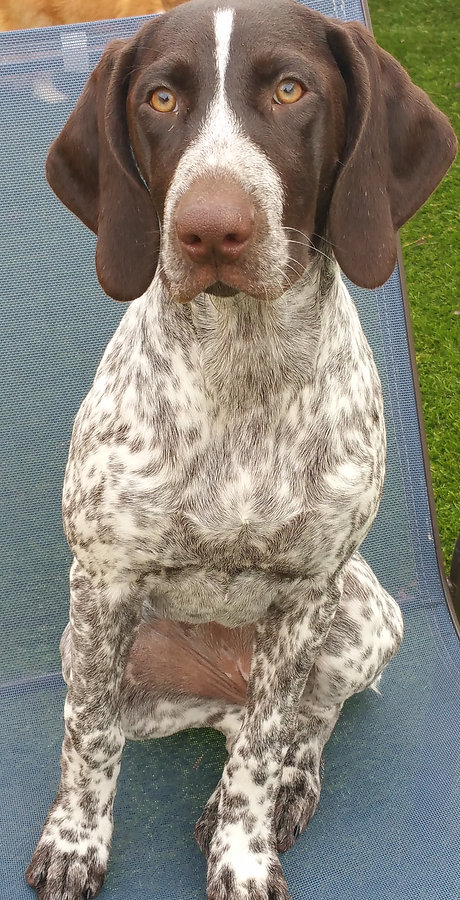 Lilly | Dog Day Care | German Shorthaired Pointer