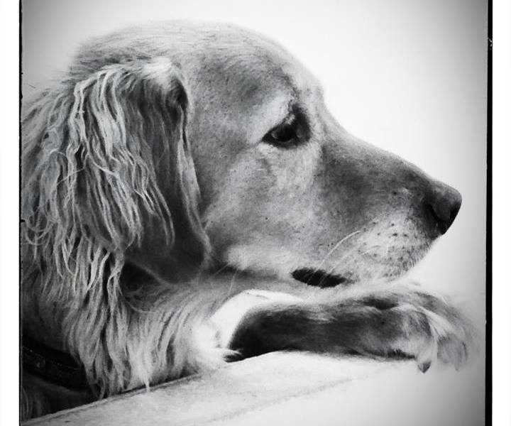 Kirby | Golden Retriever | Photo