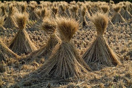rice_straw_field.jpg