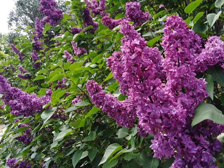 Comment siroter le lilas?