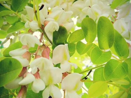 🌳 Recette de printemps: beignets de fleurs de robinier faux-acacia 🌳