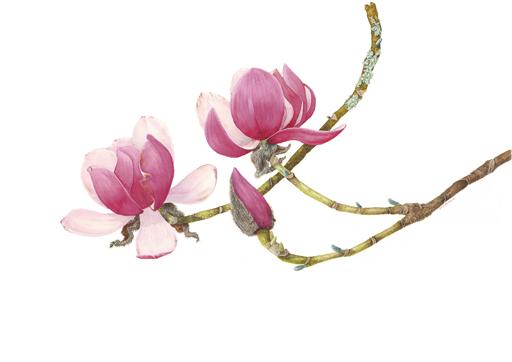 Magnolia Charles Raffill
