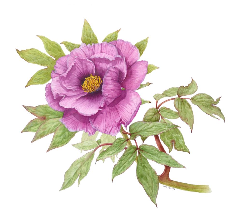 Paeonia suffruticosa 'Kumagai'